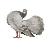 Rock Pigeon - Columba livia Royalty Free Stock Photos