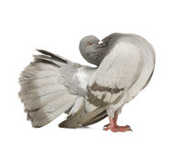 Rock Pigeon - Columba livia Royalty Free Stock Image