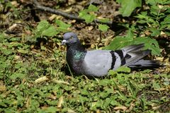 A rock pigeon (columba livia) sits on the grass getting rest royalty free stock image