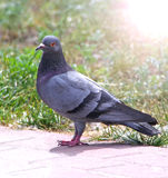 Rock pigeon (Columbidae). And green grass Stock Photography