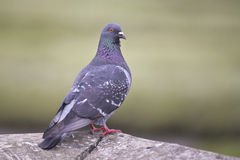 Rock Pigeon (Dove) Royalty Free Stock Images