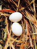 Rock pigeon egg Stock Photo