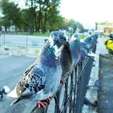 Rock pigeon on fence Royalty Free Stock Photo