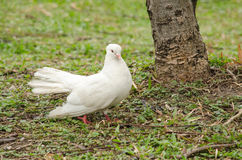 Rock pigeon in the garden Stock Photography