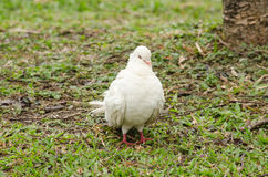 Rock pigeon in the garden Royalty Free Stock Photos