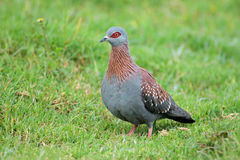 Rock pigeon on grass Stock Images
