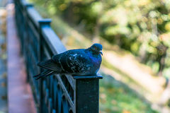 Rock pigeon in the Park. Royalty Free Stock Photo