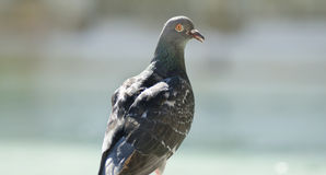 Rock Pigeon portrait Stock Image