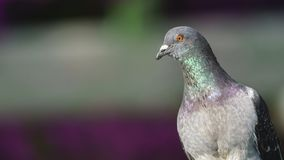 Rock Pigeon Portrait Columba Livia royalty free stock images