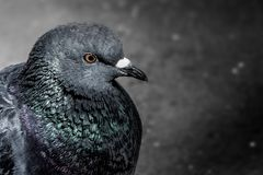 Rock pigeon portriat with sharp detail. Macro portrait of a Rock Pigeon with blurred background Stock Images