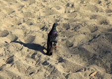 Rock Pigeon Stock Images