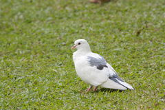 Rock pigeon Rock dove Columba livia Royalty Free Stock Images