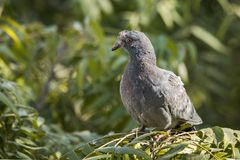 Rock pigeon with infections. Rock pigeon or Rock dove perched with infected at head watching Stock Image