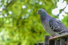 Rock pigeon stock photography