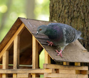 Rock pigeon sitting on wooden feeder Royalty Free Stock Image