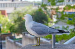 Rock Pigeon standing on the boardwalk. Royalty Free Stock Photography