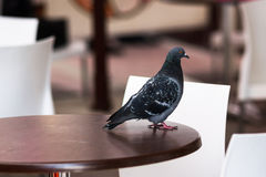 A rock pigeon on a table Royalty Free Stock Image