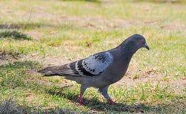 Rock Pigeon Walking Stock Photography