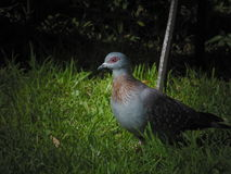 Rock Pigeon. Walking in the garden Royalty Free Stock Images