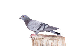 Rock Pigeon on white Stock Image
