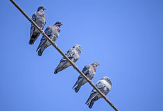 Rock Pigeons Royalty Free Stock Photos