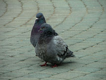 Rock pigeons in the Park during mating season. Stock Photos