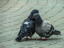 Rock pigeons in the Park during mating season. Stock Photo