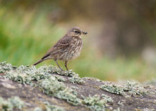 Rock Pipit (Anthus petrosus) Royalty Free Stock Photos