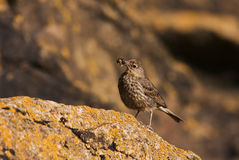 Rock pipit (Anthus petrosus) close-up Stock Photography