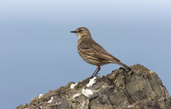 Rock pipit, Anthus petrosus Stock Photography