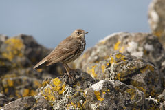 Rock pipit, Anthus petrosus Stock Images