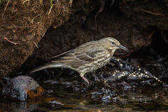 Rock Pipit (Anthus petrosus) Royalty Free Stock Images