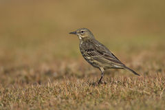 Rock Pipit (Anthus petrosus) Stock Photo
