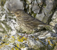 Rock Pipit. The Eurasian rock pipit Anthus petrosus, or just rock pipit, is a species of small passerine bird that breeds in western Europe on rocky coasts stock images