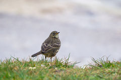 Rock Pipit in grass Royalty Free Stock Images