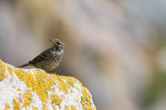 Rock Pipit Royalty Free Stock Images