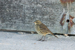 Rock Pipit Stock Image
