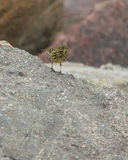 Rock Pipit standing on rock Stock Images