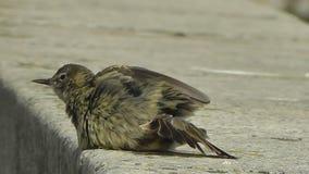 A Rock Pippit bird Anthus petrosus stock video footage