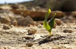 Rock Plant. A tiny plant growing out of bare rocks, Negev desert, Israel Stock Image