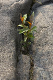 Rock Plant. A small plant growing through the cracks of a rock Stock Photo