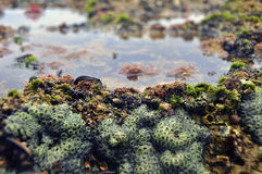 Rock pool. Oceanic tidal pool with plenty of saltwater fauna royalty free stock images