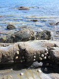 Rock Pool. With limpets and barnacles royalty free stock photos