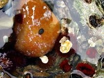 Rock pool marine life. Close-up picture of a rock pool with shells and marine life. Flowing water plays with color of water and looks silver at some places in Stock Image