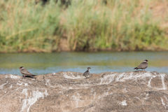 Rock pratincole family. Pair of  adult Rock pratincole (Glareola nuchalis) and chic standing on rock in middle of river, Namibia, 2015 Stock Image