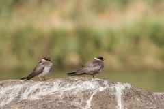 Rock pratincole pair. Pair of Rock pratincoles Glareola nuchalis standing on rock in middle of river, Namibia, 2015 Royalty Free Stock Images