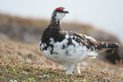 Rock ptarmigan Royalty Free Stock Photo