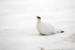 Rock Ptarmigan Stock Photography