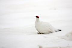 Rock Ptarmigan. Lagopus muta  winter plumage in Japan Stock Photography