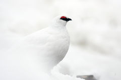 Rock Ptarmigan Stock Image